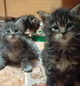 Котята 1 месяц мейн-кун