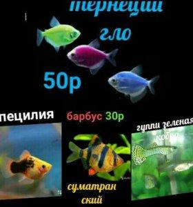 барбус и другие рыбы