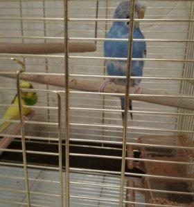 Попугаи волнистые Катя и Кеша вместе с клеткой