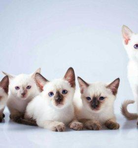 Тайские котята из питомника Варадеро