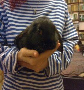 Карликовый декоративный кролик