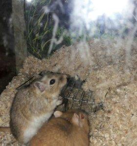 Мышки-песчанки
