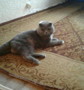Шотландский котик ждет кошечку в гости на связеку