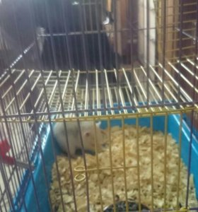 Крыса окрас серо-белая ручная