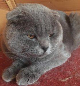 Котик шотландской породы приглашает в гости