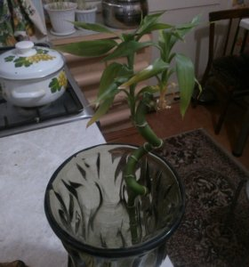 Растение бамбук драцена.