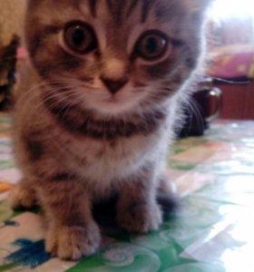 Котёнок шотландский веслоухая