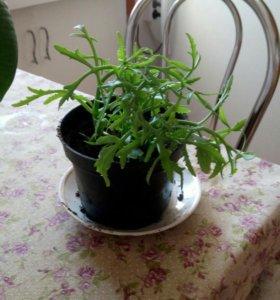 Оленьи рожки растение