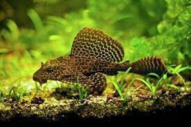 Сом парчовый (рыбка в аквариум) плекостомус, плеко