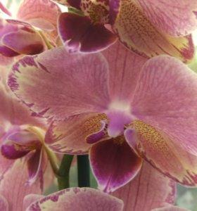 Pirate Picotee орхидея.