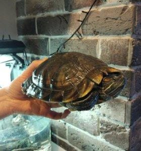Красноухая черепаха бесплатно в добрые руки
