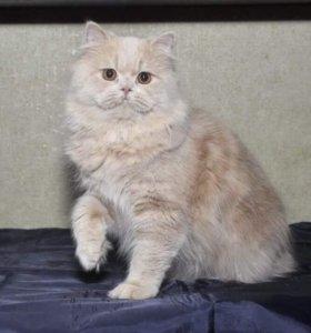Британский длинношёрстный котик