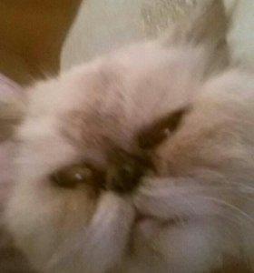 Кошка персидская(гималайская) в добрые руки