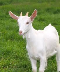 дойная коза с козлёнком