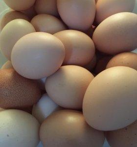 Продаются яйца