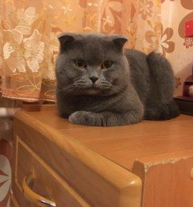 Вязка. Британский Кот