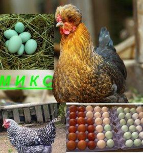 Инкубационное яйцо привозное, инкубация