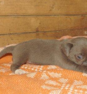 Чихуахуа щенки из питомника
