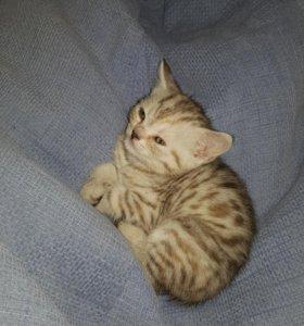 Продам милых шотландских котят