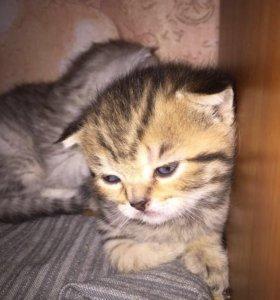 Котёнок. Кошечка шотландская вислоухая