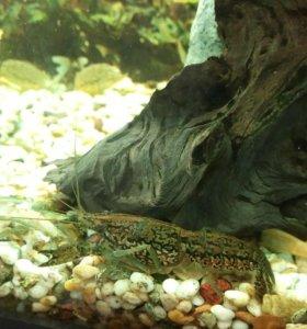 Рак мраморный аквариумный
