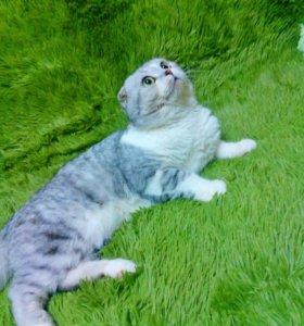 Продам шотландского котика 😍