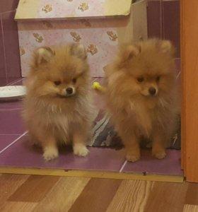Померанские щенки