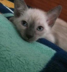 Тайский котенок девочка
