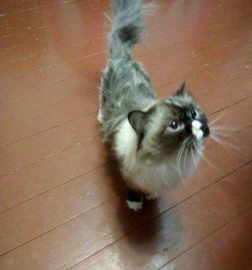 Кошечка шиншилла персидская