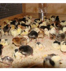 продажа оптом цыплят и утят! каневская!