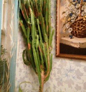 Кактус комнатное растение