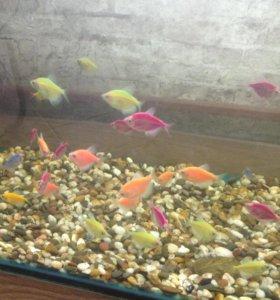 Продам,аквариумные рыбы Тернеция (Glofish)
