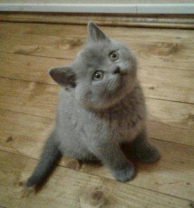Британский котенок, 3,5 месяца, мальчик