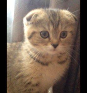 Продам котёнка, шотландская порода