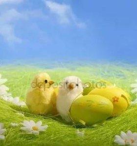 Цыплятки