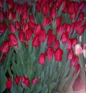 Тюльпаны к 23 февраля и 8 марта!