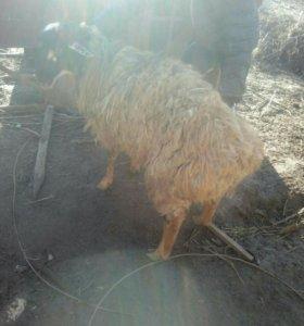Курдючно-гесарский баран.
