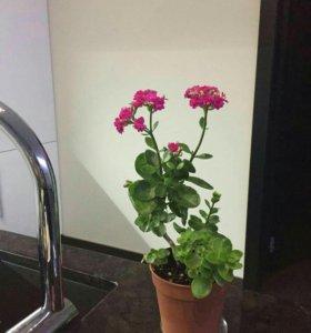 Цветок калонхоэ