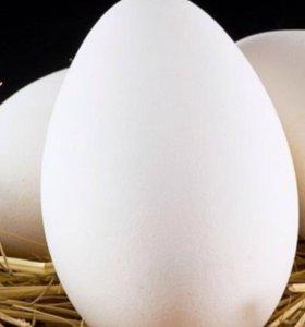 Домашние яйца гусиные породы Линда