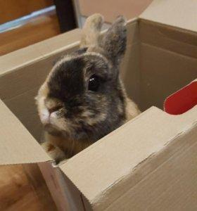 Продам! Карликовый кролик с клеткой!