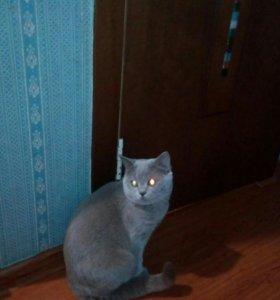 Британский котик для вязки