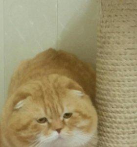 Шотландские коты на вязку