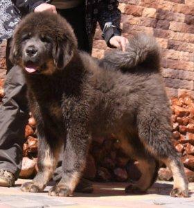 высокопородные щенок тибетског мастифа эксклюзив