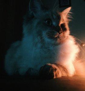 Кот порода Невская Маскарадная