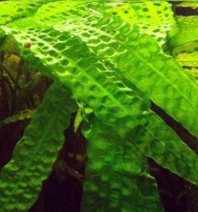 Криптокорина аквариумное растение.