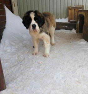 Сенбернар щенок