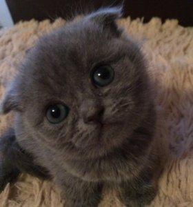 Британские-котята