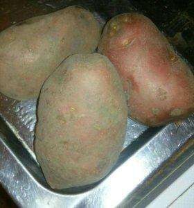 Картофель, ведро