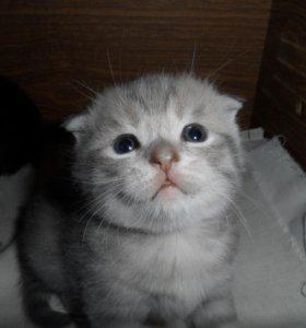 Продаются очаровательные шотландские котята
