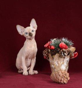 Бамбино( Лонг)кот
